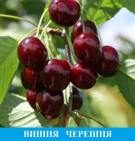 Выбрать вишни и черешни