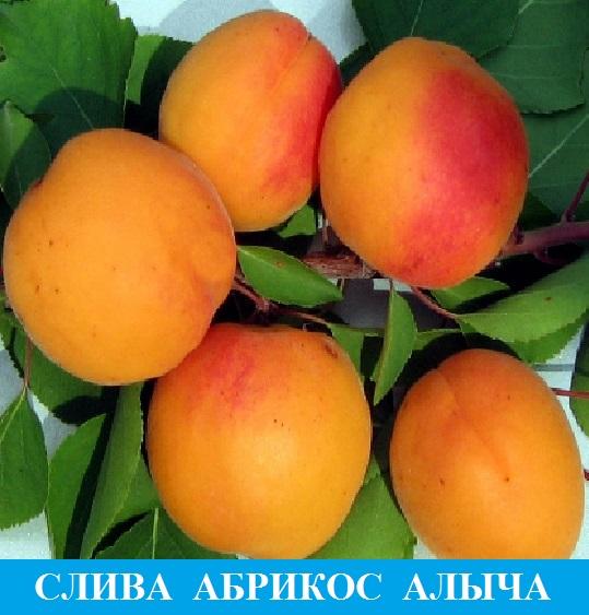 Выбрать сливы и абрикосы