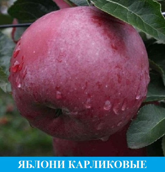 Выбрать яблони