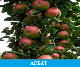 Арбат яблоня колоновидная