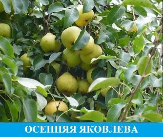 Осеннее Яковлева