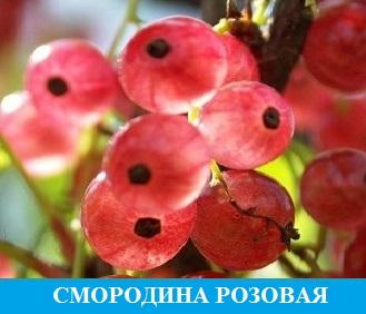 Смородина розовая