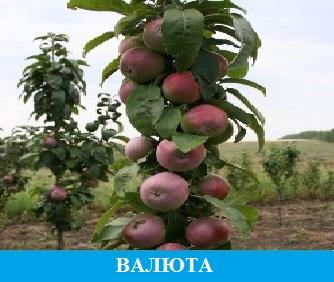 Валюта яблоня колоновидная