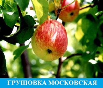 Грушевка Московская