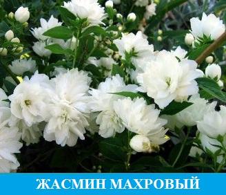 Жасмин Махровый