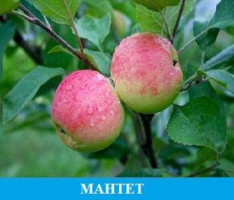 Мантет