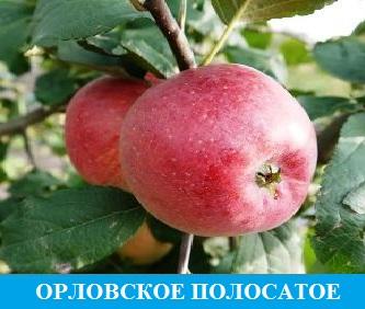 Орловское полосатое