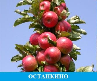 Останкино яблоня колоновидная