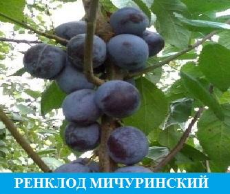 Слива Ренклод Мичуринский