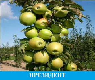 Президент яблоня колоновидная