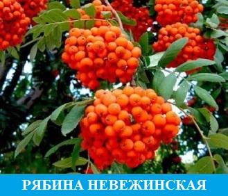 Рябина сладкая Невежинская