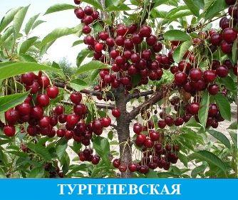 Вишня Тургеневская