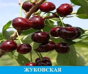 Вишня Жуковская