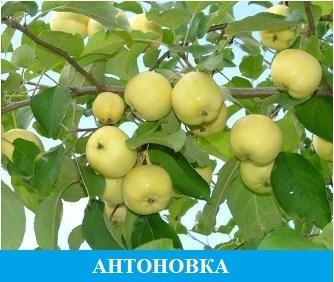 Антоновка