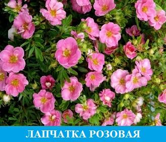 Лапчатка розовая