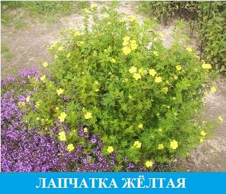 Лапчатка желтая