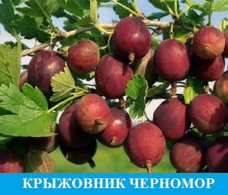 Крыжовник Черномор