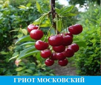 Вишня Гриот Московский