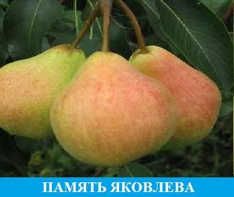 Память Яковлева