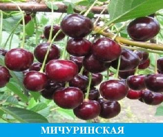Черешня Мичуринская
