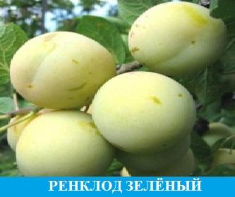 Слива Ренклод Колхозный