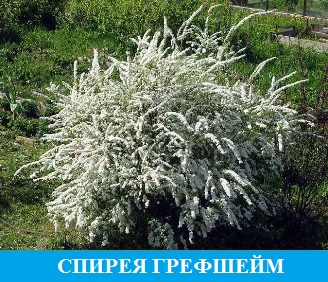Спирея Грефшейм