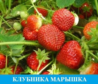 Клубника Марышка